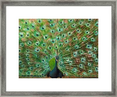 Mr. Peacock Framed Print by Sherry Robinson