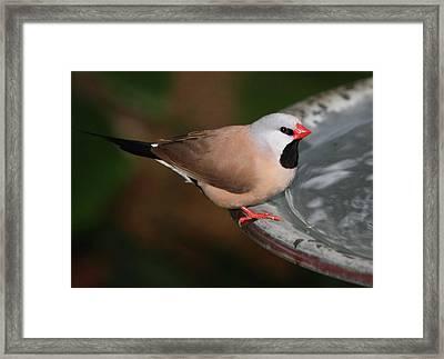 Mr. Red Beak Framed Print by Andrea  OConnell