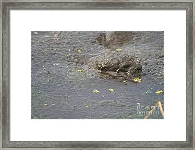 Muddy Otter Framed Print by Jack Norton