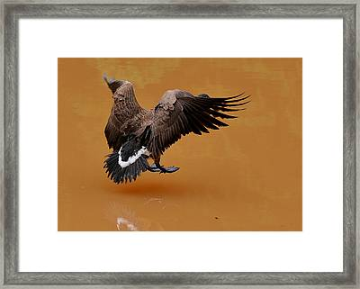 Muddy Pond Hover Landing Goose  - C4558d  Framed Print by Paul Lyndon Phillips