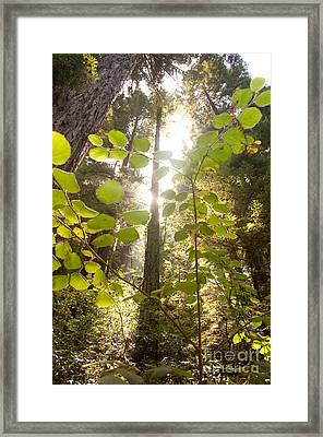 Muir Woods Magic Framed Print by Rossi Love