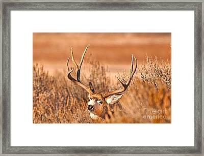 Mule Deer Buck Closeup Framed Print by Earl Nelson