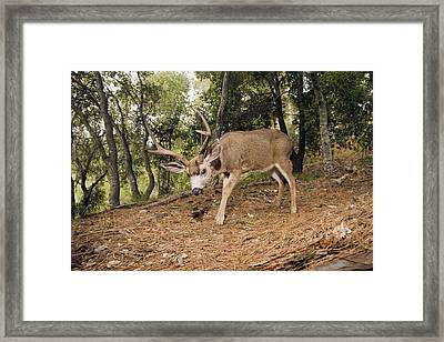 Mule Deer Buck In Forest Aptos Framed Print by Sebastian Kennerknecht