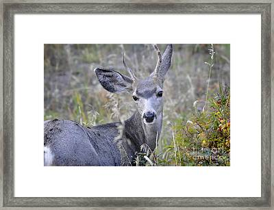 Framed Print featuring the photograph Mule Deer On Fall River by Nava Thompson