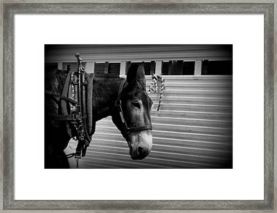 Mule - Tied Up For A While Framed Print by Travis Truelove