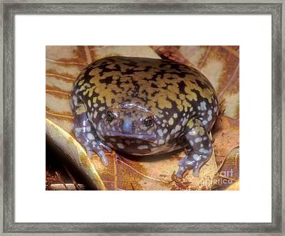 Mullers Termite Frog Framed Print by Dante Fenolio