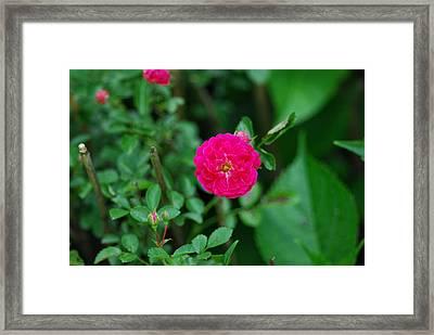 Multifloral Rose Framed Print