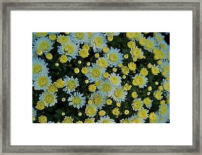 Framed Print featuring the photograph Mums by Joseph Yarbrough