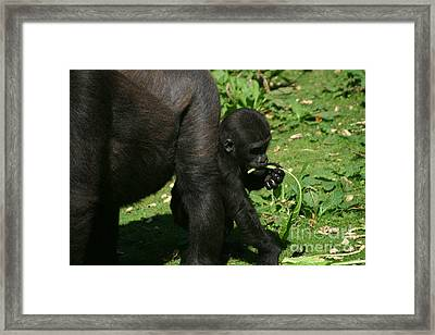 Mums Not Looking Framed Print by Carol Wright