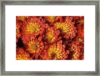Mums Of A Different Color Framed Print by Bruce Bley