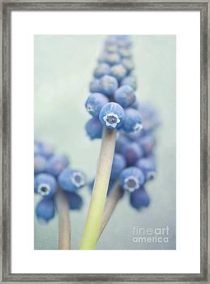 Muscari Framed Print