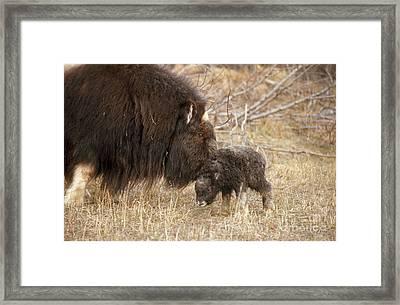 Musk Ox Cow And New Calf Framed Print by Joseph Rychetnik