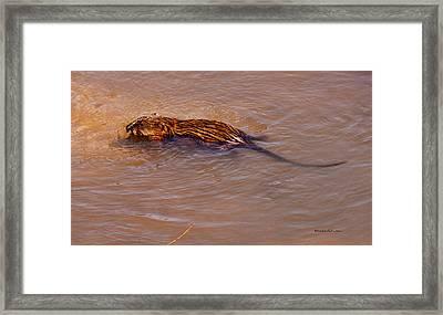 Muskrat Swiming Framed Print