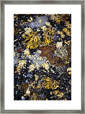 Mussels And Barnacles At Low Tide Framed Print by Elena Elisseeva