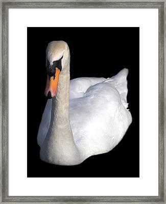 Mute Swan At Night Framed Print by Lynne Dymond