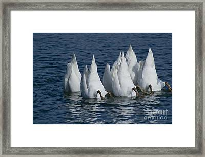 Mute Swan Framed Print by Jack R Brock