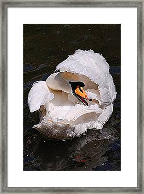 Mute Swan Framed Print by Patricia Tapping