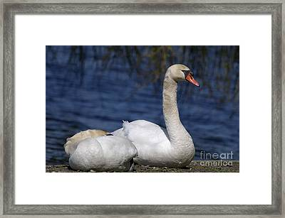 Mute Swans By Lagoon Framed Print by Sharon Talson