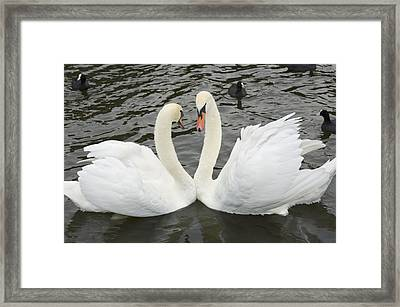 Mute Swans Courting Framed Print by Georgette Douwma