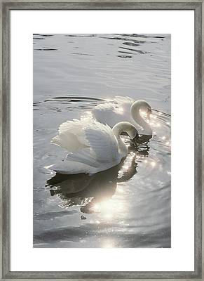 Mute Swans Framed Print by Peter Scoones