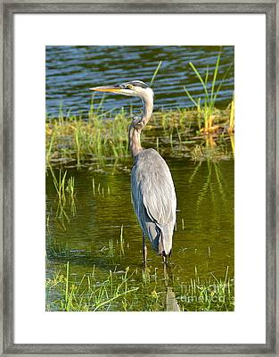 My Blue Heron II Framed Print by Carol  Bradley