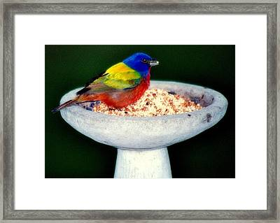 My Painted Bunting Framed Print by Karen Wiles