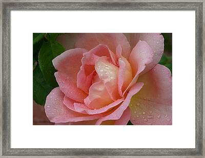 My Pink Rose Framed Print by Connie Koehler