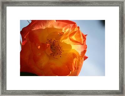 My Yellow Orange Rose Framed Print by Connie Koehler