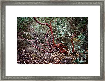 Mysterious Manzanita Framed Print by Laura Iverson