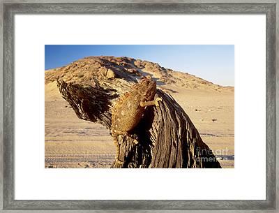 Namaqua Chameleon Framed Print by Nigel J Dennis and Photo Researchers
