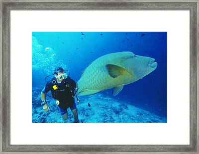 Napoleon Wrasse And Diver Framed Print by Matthew Oldfield