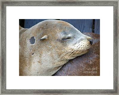 Napping Framed Print by Gwyn Newcombe