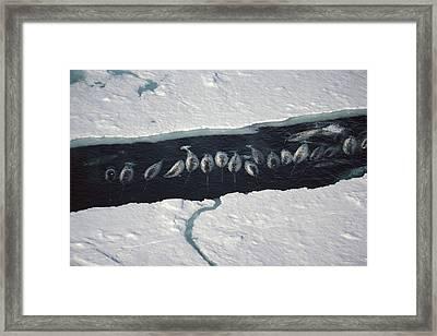 Narwhal Group In Ice Break Near Baffin Framed Print by Flip Nicklin