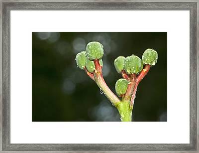 Natural Bonsai Framed Print by Carolyn Marshall