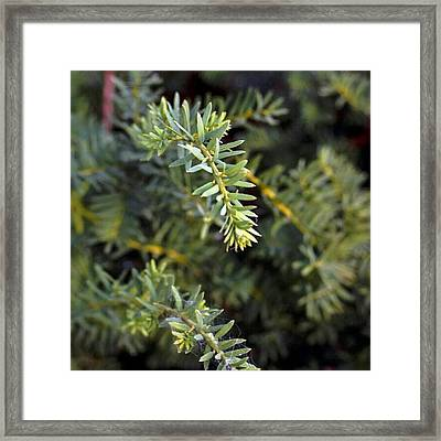 #nature #shurb #bush #brush #tree Framed Print