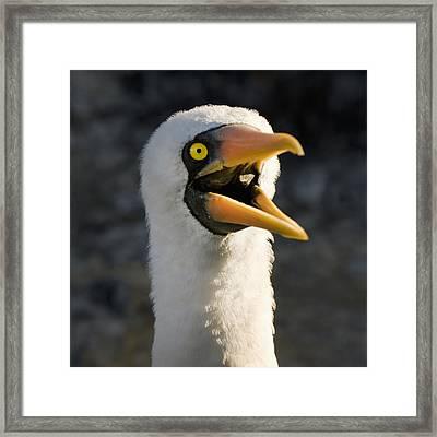 Nazca Booby Sula Granti Galapagos Framed Print by Keith Levit