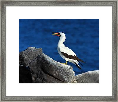 Nazca Booby Framed Print by Tony Beck