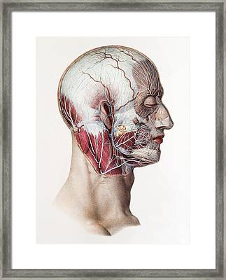 Neck And Facial Nerves Framed Print by Mehau Kulyk