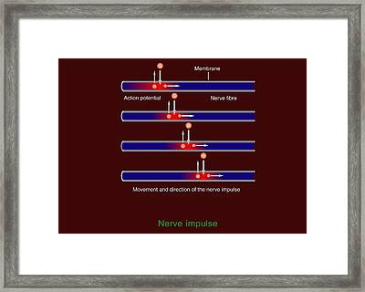 Nerve Impulse Propagation, Diagram Framed Print by Francis Leroy, Biocosmos