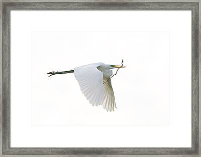 Nest Building Framed Print by Denny Bingaman