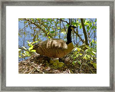Nesting Canada Goose In The Heat Of The Day - C0567c Framed Print by Paul Lyndon Phillips