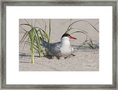 Nesting Common Tern Framed Print by Clarence Holmes