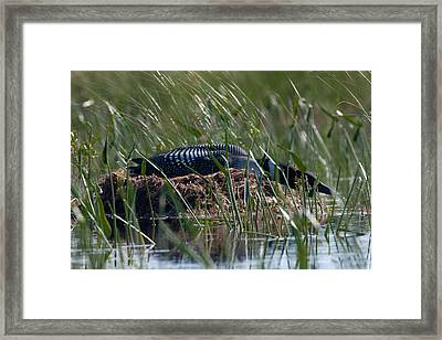 Framed Print featuring the photograph Nesting Loon by Brent L Ander