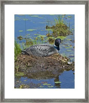 Nesting Loon Framed Print by Dean Bennett