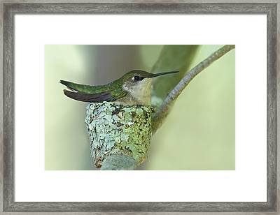 Nesting Ruby-throated Framed Print