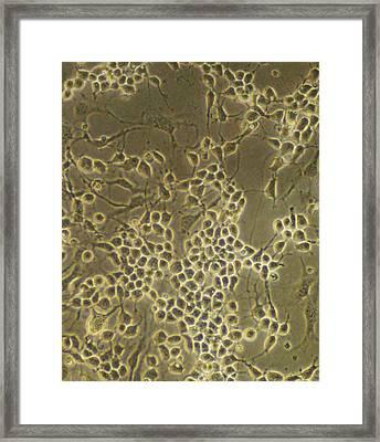 Neural Stem Cells Framed Print by Riccardo Cassiani-ingoni