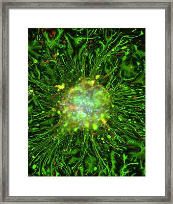 Neurosphere Culture Framed Print