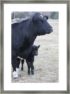 New Calf And Mama Cow Framed Print