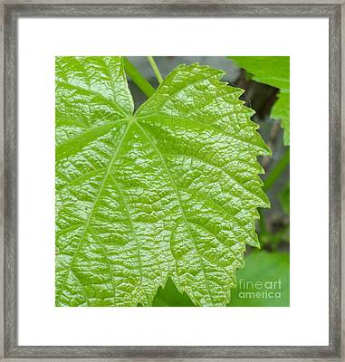 New Grape Leaf Macro Framed Print by Padre Art