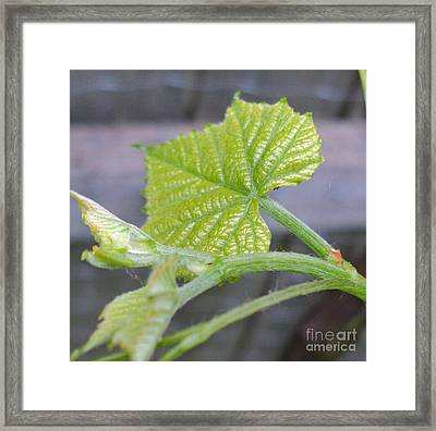New Grape Leaves Macro Framed Print